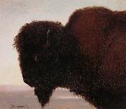 Buffalo Head Bierstadt
