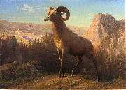 A Rocky Mountain Sheep, Ovis, Montana Bierstadt